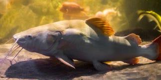 Witte gekleurde rode staartkatvis, populaire vissen in aquicultuur en de visserijsport, grote tropische vissen van het bassin van royalty-vrije stock foto