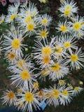 Witte gele bloemen Stock Afbeeldingen