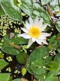 Witte Gele Lotus-bloem en Lotus-bloeminstallaties royalty-vrije stock foto's