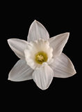 Witte gele narcis Royalty-vrije Stock Foto's