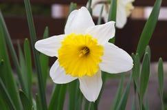 Witte Gele narcis Royalty-vrije Stock Afbeeldingen