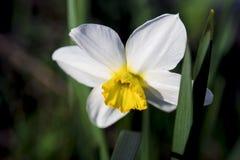 Witte gele narcis royalty-vrije stock fotografie