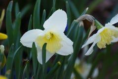Witte Gele narcis Stock Fotografie