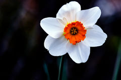 Witte Gele narcis Oranje Trompet Stock Foto