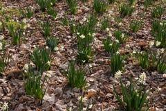 Witte gele narcisbloemen in een bos Royalty-vrije Stock Fotografie
