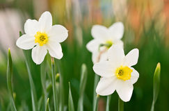 Witte Gele narcissen Royalty-vrije Stock Afbeeldingen