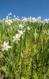 Witte gele narcissen Stock Foto's