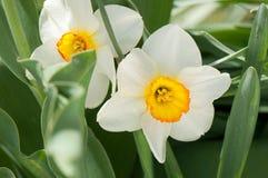 Witte gele narcissen Stock Foto