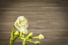 Witte gele narcissen Stock Afbeelding