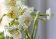 Witte gele narcissen Royalty-vrije Stock Foto's