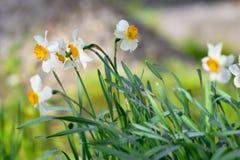 Witte gele narcissen Royalty-vrije Stock Afbeelding