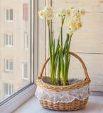 Witte gele narcissen in een mand Royalty-vrije Stock Afbeelding