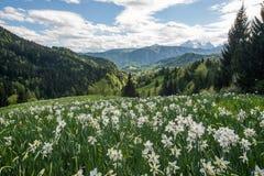 Witte gele narcissen met bergen Stock Foto's
