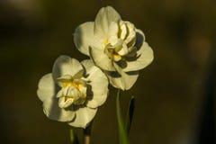 Witte gele narcissen onder de zon, Haute-Vienne Frankrijk Royalty-vrije Stock Fotografie