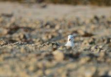 Witte geleide zeemeeuw die van de zandhoop piepen Royalty-vrije Stock Afbeelding