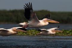 Witte gemeenschappelijke pelikanen die over het meer vliegen Royalty-vrije Stock Foto's