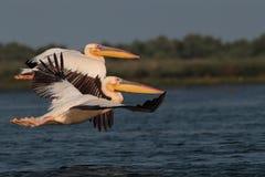 Witte gemeenschappelijke pelikanen die over het meer vliegen Stock Foto's