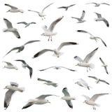 Witte geplaatste vogels. geïsoleerde royalty-vrije stock afbeeldingen