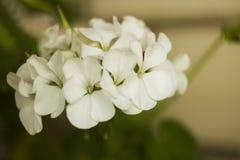 Witte geraniumbloemen op tak Stock Afbeeldingen