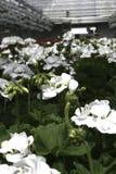 Witte Geraniums Royalty-vrije Stock Afbeeldingen