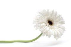 Witte gerbera Royalty-vrije Stock Afbeelding