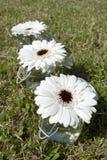 Witte Gerbera-bloemen Stock Foto
