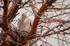 Witte gevleugelde duif die in het struikgewas nestelen royalty-vrije stock afbeelding
