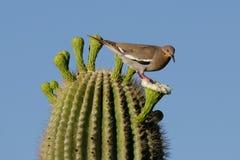 Witte Gevleugelde Duif op Saguaro Stock Foto