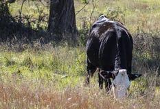 Witte gezichts zwarte koe die in gebiedsclose-up eten stock afbeeldingen