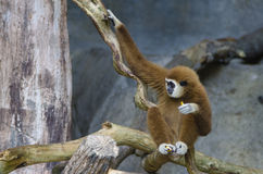 Witte Gibbon Royalty-vrije Stock Afbeeldingen