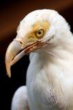 Witte gier Royalty-vrije Stock Fotografie