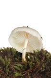 Witte giftige paddestoel in mos stock foto