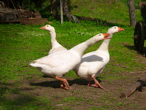 Witte gooses Stock Foto's