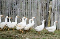 Witte gooses Royalty-vrije Stock Afbeeldingen