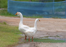 Witte gooses in landbouwbedrijf Stock Fotografie