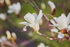 Witte grote Magnolia Stock Foto