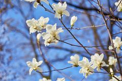 Witte grote Magnolia royalty-vrije stock afbeelding