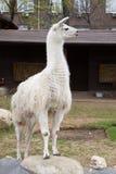 Witte guanaco Stock Foto