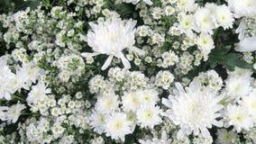 Witte Gypsophila-bloem royalty-vrije stock afbeeldingen
