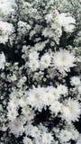 Witte Gypsophila-bloem royalty-vrije stock foto