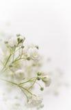 Witte Gypsophila-bloem Stock Afbeelding