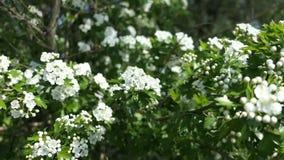 Witte haagdoorncrataegus bloesem in de lente stock footage