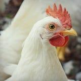 Witte Haan stock foto