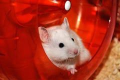 Witte hamster Stock Afbeeldingen