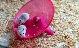 Witte hamsters die één of andere oefening op rond wielufo doen Stock Foto's