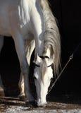 Witte hengst in staldeur Stock Afbeelding