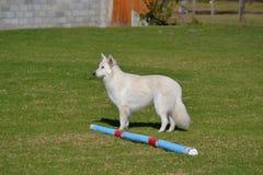 Witte herder Stock Foto's