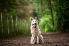 Witte herder Royalty-vrije Stock Afbeelding