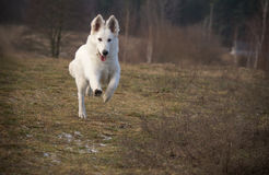 Witte herder in de looppas Royalty-vrije Stock Afbeelding