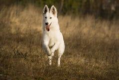 Witte herder in de looppas Stock Fotografie
